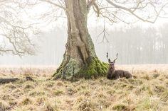 andrewlever:  Another stag that i managed to photograph after a great deal of walking and patience in the forest in Klampenborg near Copenhagen….