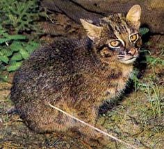 The Iriomote cat (Prionailurus bengalensis iriomotensis) is a subspecies of the leopard cat that lives exclusively on the Japanese island of Iriomote. As of 2007 there are an estimated 100–109 individuals remaining. It has been classified as Critically Endangered by IUCN since 2008, as the population size is fewer than 250, is declining, and consists of a single subpopulation.