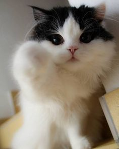 Funny pictures about The most beautiful cat in the world. Oh, and cool pics about The most beautiful cat in the world. Also, The most beautiful cat in the world. Pretty Cats, Beautiful Cats, Animals Beautiful, Pretty Kitty, Beautiful Images, Funny Cats, Funny Animals, Cute Animals, Funny Humor
