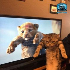When you're made to do the Lion King impression too many yimes - your daily dose of funny cats - cute kittens - pet memes - pets in clothes - kitty breeds - sweet animal pictures - perfect photos for cat moms Cute Kittens, Fluffy Kittens, Fluffy Cat, Cats And Kittens, Funny Cat Images, Funny Animal Pictures, Funny Cats, Cats Humor, Baby Pictures