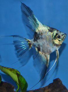 Blue Marble Paraiba Angelfish