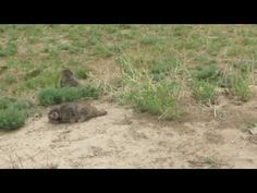 These are just adooooorable! Wild manul cubs caught on video in Mongolia Pallas's Cat, The Lion Sleeps Tonight, Mountain Lion, Kittens Playing, Pumas, Mongolia, Big Cats, Mother Nature, Lions