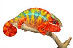 Panther Chameleon - Furcifer Pardalis - Ambilobe Locale - Male Ambilobe breeder here at Canvas Chameleons named Hiccup