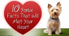 Yorkshire Terrier is one of the most popular dog breeds in the world, and despite their small size, Yorkies have big personalities. http://healthypets.mercola.com/sites/healthypets/archive/2015/09/18/yorkshire-terrier.aspx
