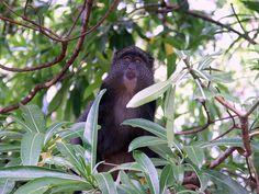 A Blue Monkey says Hello, Lake Manyara National Park, Tanzania -#FriFotos by @Travel4Vitality #Wild - Wow! Super!