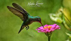 Colibri | par M. R. Photography