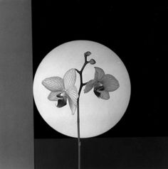 Robert Mapplethorpe, Orchids, 1988.   Extremely excited to write this research paper on such a talented artist.