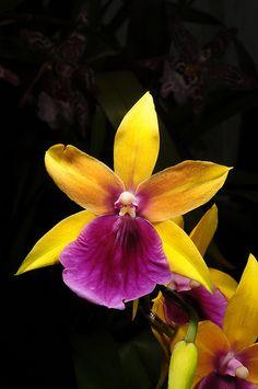Miltonia regnellii var xanthina x 1384-1 | Nurelias | Flickr