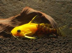 Tropical Aquarium, Tropical Fish, Aquarium Fish, Pleco Fish, Monster Fishing, World Cat, All Fish, Beautiful Fish, Exotic Fish
