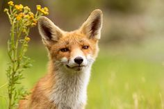 Red Fox by Nils Poldervaart on 500px