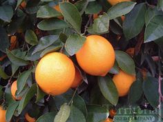 Improved Meyer Lemon...a cross between a lemon and a mandarin orange..much sweeter than grocery store lemons.  This variety can withstand temperatures as low as 18degrees F for very short periods..