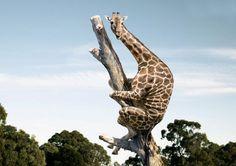 Girafa na arvore