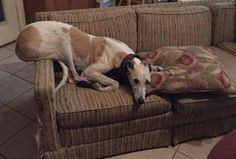How to couch sit greyhound style.  Thanks for showing us your skills, Kelly!