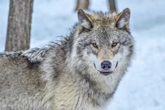 @wolvescommunity Rate it 1-10!  Who else loves these beautiful animals?  Follow 🌟@wildfriendglobe for daily updates 😊 Photo credit… Beautiful Wolves, Animals Beautiful, Wolf Hybrid, Wolf Face, Timber Wolf, Wolf Pictures, Paws And Claws, Photo Credit, Husky