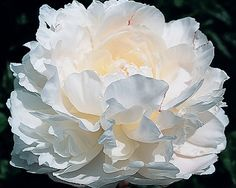 Norma Volz - Midseason Lactiflora, double, white, full double, opens tawny blush, passing to a soft off-white, very large, fragrant, a grand show winner, massive blossoms, strong grower, dark green foliage, stems strong but may benefit by support against rain loading of the large flowers.