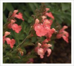 Salvia 'Heatwave Blast' PBR   Lambley Nursery