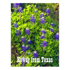 Bluebonnets Howdy from Texas Wildflowers Photo Postcard. #postcard #bluebonnet #howdy #texas #wildflower Diy Framed Art, Rustic Frames, Blue Bonnets, Photo Postcards, Travelers Notebook, Postcard Size, Wildflowers, All Art, Blue Flowers