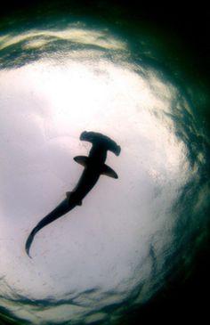 hammerhead shark in middle of school of fish