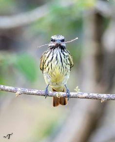 Sulphur bellied flycatcher