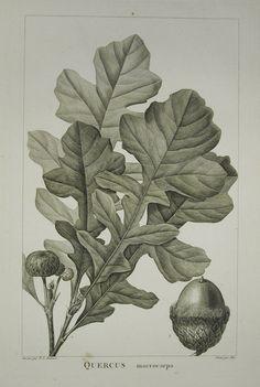 Quercus macrocarpa (Bur Oak)