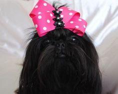 Beautiful black Shih Tzu #black #dog #Shih Tzu