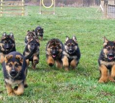 Oh my gosh I would die from all the cuteness! <3 German Shepards