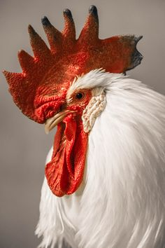Colorful birds - Rooster - Impressive capture.