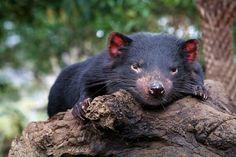 Kingdom Animalia, Tasmanian Devil (by blackpaw)