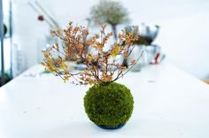"""petiteplanet: """"spirea japonica kokedama """" The most beautiful plant ball ❤️ Growing Moss, Girl With Pink Hair, Most Beautiful, Planters, Terrarium Workshop, Garden Ideas, Blog, Archive, Trees"""