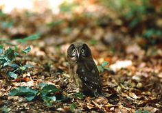 Ya llega el 2015!! Felicidades a todos!!! Tengmalm's Owl (Aegolius funereus) juvenile. Photo by Radoslaw Gwozdz.