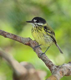 Foto ferreirinho-pintado (Todirostrum pictum) por Anselmo d`Affonseca | Wiki Aves - A Enciclopédia das Aves do Brasil