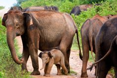 The Elephant Herd Protects by markrthomas #ErnstStrasser #SriLanka