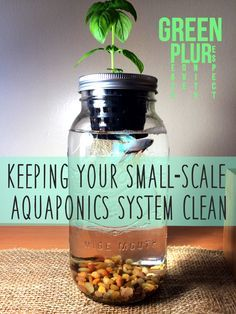 How to keep your small-scale aquaponics system clean :) Green PLUR. Check it out~ Mason Jar Aquaponics, Sustainability .