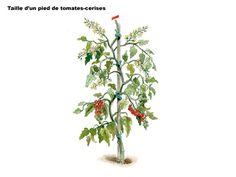 Tailler les pieds de tomates cerises - Les bons gestes