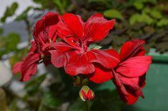 Binecunoscute ca plante de apartament, mușcatele au proprietăți curative, efecte antitumorale, antibacteriene, antireumatismale și antiinflamatorii. În scop terapeutic, de la mușcate se folosesc frunzele, rădăcina plantelor bătrâne și florile.