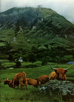 Lush green of summer drapes Glencoe, where shaggy Highland cattle wander in search of fodder. (National Geographic, March 1968)