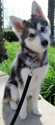 Cute Alaskan Klee Kai starring at the camera..