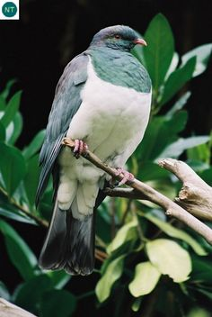 New Zealand pigeon, (Hemiphaga novaeseelandiae) Beautiful Butterflies, Beautiful Birds, Bird Sculpture, Garden Sculpture, Extinct Birds, Baby Animals, Cute Animals, Wood Pigeon, New Zealand Landscape