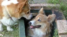 Roku in tunnel / トンネルで涼むロクさん 20160529-5 welsh corgi dog コーギー 犬