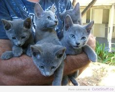 russian_blue_kittens ...........click here to find out more http://googydog.com
