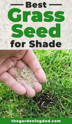 If you plan on growing grass this year then you'll want to read this article to learn about the best grass seed for shade. You'll also learn about expert tips to help you grow grass faster and with more success! Grow Grass In Shade, Best Grass For Shade, Grow Grass Fast, Growing Grass From Seed, Planting Grass Seed, Shade Grass Seed, Best Grass Seed Lawn, Lawn Seed, Amending Clay Soil