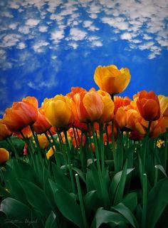 Orange Tulips, Istanbul, Turkey