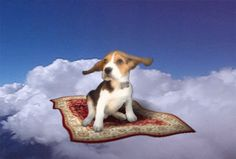 dog cute adorable puppy flying beagle magic carpet flying dog mj the beagle #humor #hilarious #funny #lol #rofl #lmao #memes #cute