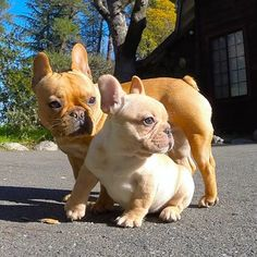 #french #bulldog #frenchie #puppy #sisters #Bali and #Paris