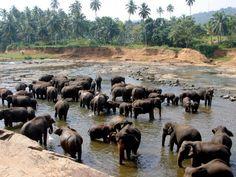 Pinnawala - Rządowy Sierociniec dla Słoni -  Government Orphanage for Elephants