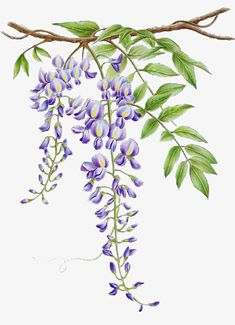 Watercolor Flowers, Watercolor Paintings, Flower Art Drawing, Flower Quilts, Plant Painting, Floral Artwork, Stencil Art, Wisteria, Botanical Art