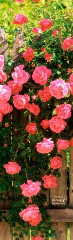 Rose – Flower of the Month for June Pruning Shrubs, Flowering Shrubs, Window Plants, Hanging Plants, Fall Plants, Foliage Plants, Shrubs For Landscaping, June Flower, Colorful Shrubs