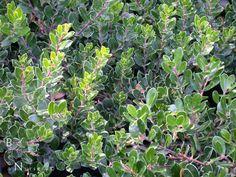 Arctostaphylos 'Emerald Carpet' - Google Search