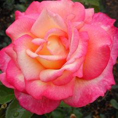 """'Sheila's Perfume' - The 4"""" flowers (petals 24+) are a blend of clear yellow overlaid with cherry-red. Winner of the Royal National Rose Society's Edland Medal for fragrance. 4' tall"""