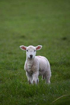 littles :: dingle, ireland  #lamb #farm #ireland